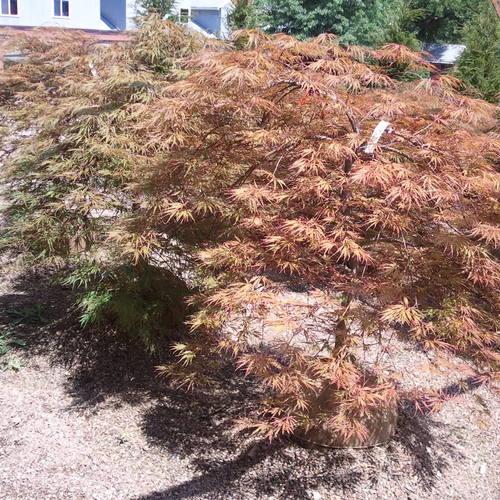 Acer Pd Crimson Queen The Site Gardener