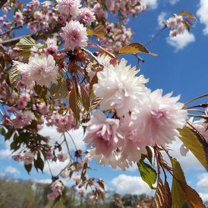 Prunus x 'Extrazam'