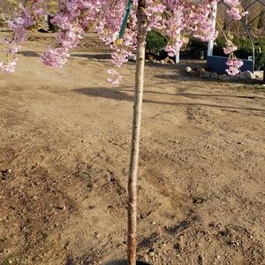 Prunus subhirtella 'Pendula Flora Plena'