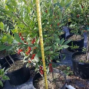 Ilex verticulata 'Winterberry'