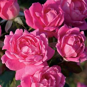 DOUBLE PINK KNOCK OUT ROSE