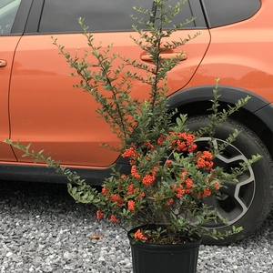 Pyracantha x 'Mohave'