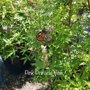 Vitex agnus-castus 'Pink Pinnacle'